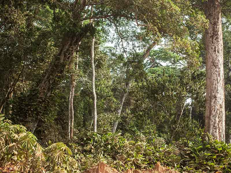 Protecting the integrity of open Marantaceae forests in the Congo Basin