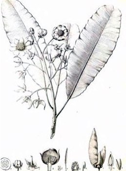 Lophira alata botanical drawing